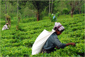 Fair Trade Tea Estates