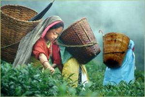 Tea pickers in tea field