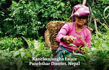 kanchanjangha-estate-panchthar-district-nepal-1.jpg