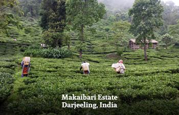 makaibari-estate-darjeeling-india-1.jpg