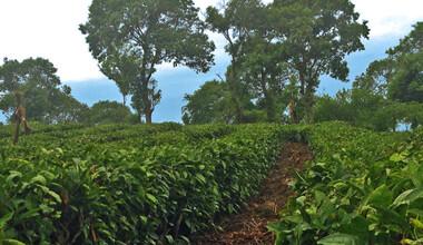 organic-tea-1.jpg