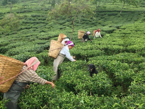 Tea Pluckers at Makaibari Tea Estate
